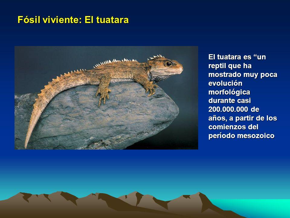 Fósil viviente: El tuatara El tuatara es un reptil que ha mostrado muy poca evolución morfológica durante casi 200.000.000 de años, a partir de los co