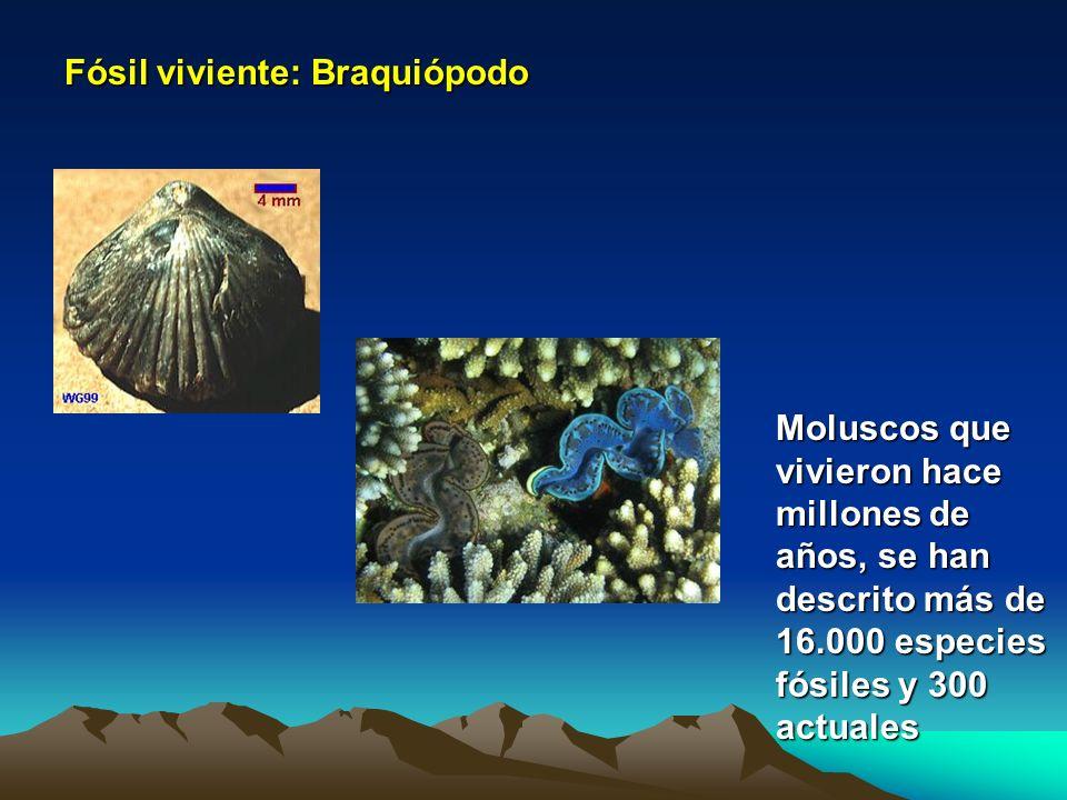 Fósil viviente: Braquiópodo Moluscos que vivieron hace millones de años, se han descrito más de 16.000 especies fósiles y 300 actuales