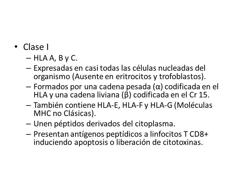 Clase I – HLA A, B y C. – Expresadas en casi todas las células nucleadas del organismo (Ausente en eritrocitos y trofoblastos). – Formados por una cad