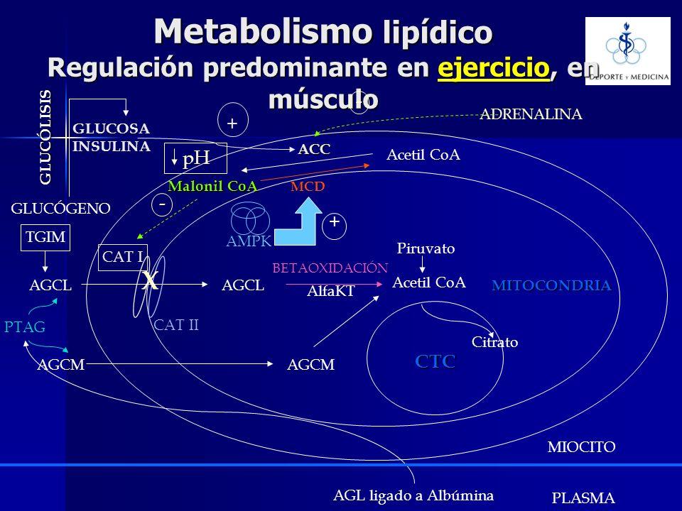Metabolismo lipídico Regulación predominante en ejercicio, en músculo AGCL Acetil CoA Piruvato CAT I CAT II Citrato -MITOCONDRIA CTC BETAOXIDACIÓN Mal