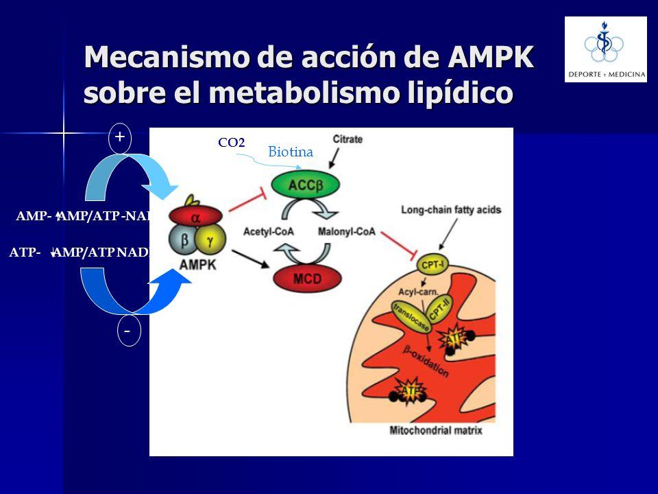 Mecanismo de acción de AMPK sobre el metabolismo lipídico AMP- AMP/ATP -NAD + ATP- AMP/ATP NADH - Biotina CO2