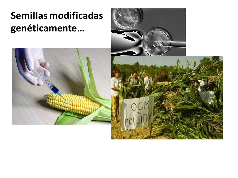 Semillas modificadas genéticamente…