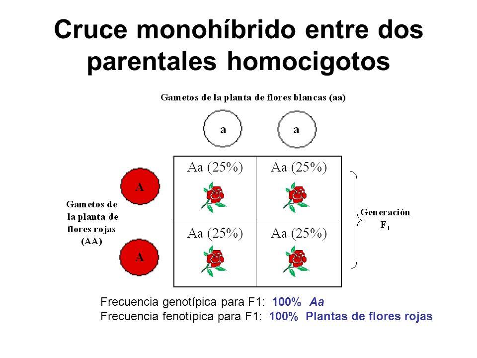 Cruce monohíbrido entre dos parentales homocigotos Frecuencia genotípica para F1: 100% Aa Frecuencia fenotípica para F1: 100% Plantas de flores rojas