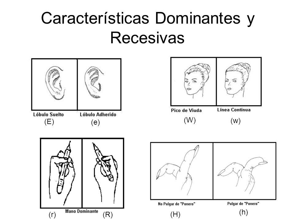 Características Dominantes y Recesivas (E) (e) (w) (W) (R) (r) (H) (h)