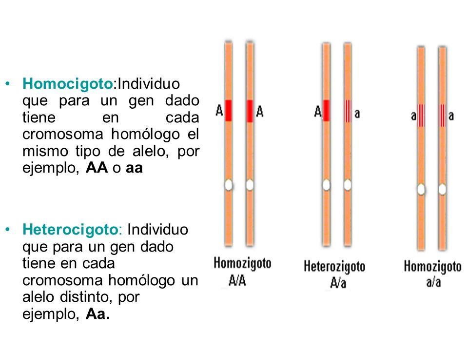 Homocigoto:Individuo que para un gen dado tiene en cada cromosoma homólogo el mismo tipo de alelo, por ejemplo, AA o aa Heterocigoto: Individuo que pa