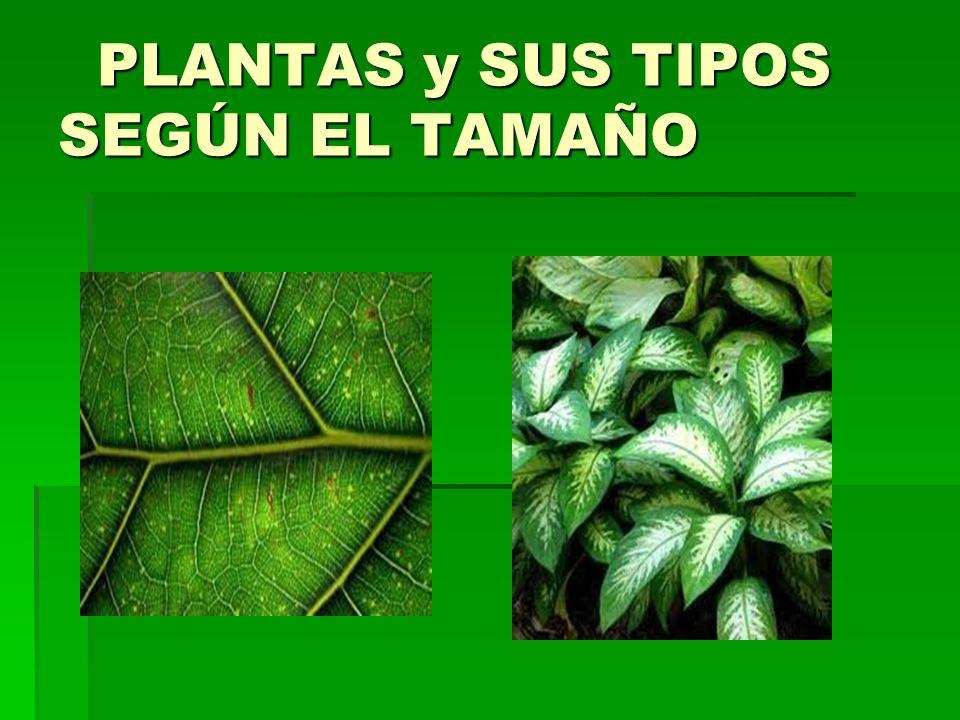 PLANTAS y SUS TIPOS SEGÚN EL TAMAÑO PLANTAS y SUS TIPOS SEGÚN EL TAMAÑO