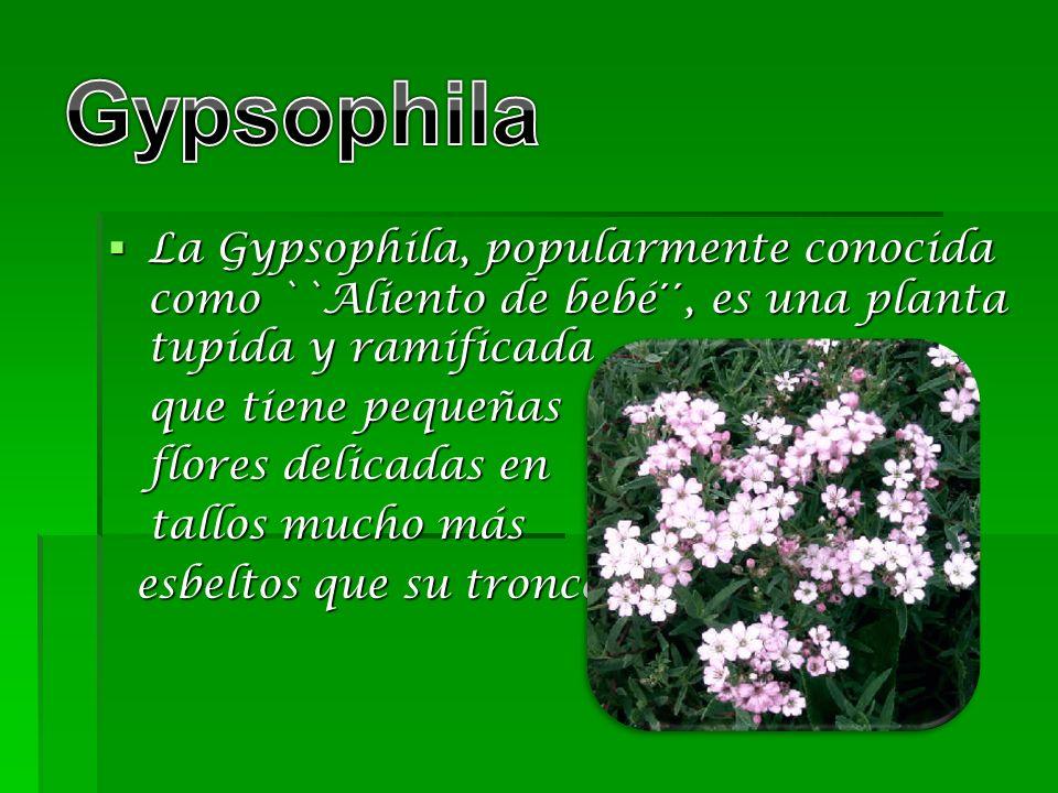 La Gypsophila, popularmente conocida como ``Aliento de bebé´´, es una planta tupida y ramificada La Gypsophila, popularmente conocida como ``Aliento d