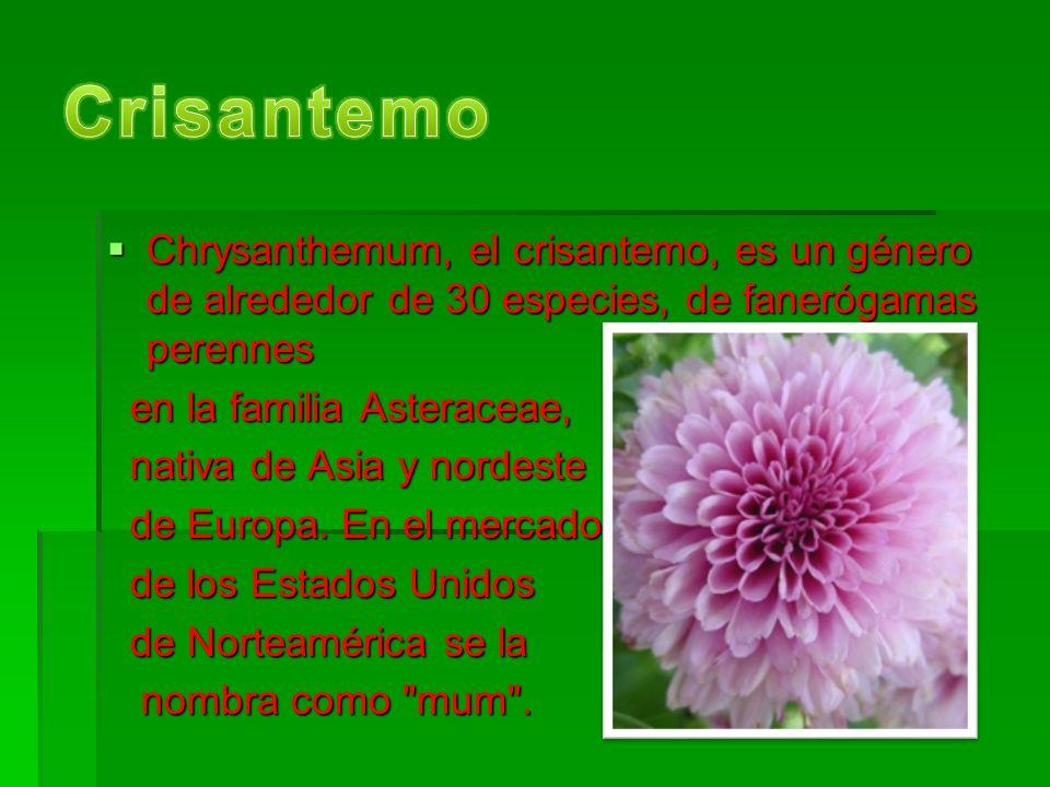 Chrysanthemum, el crisantemo, es un género de alrededor de 30 especies, de fanerógamas perennes Chrysanthemum, el crisantemo, es un género de alrededor de 30 especies, de fanerógamas perennes en la familia Asteraceae, en la familia Asteraceae, nativa de Asia y nordeste nativa de Asia y nordeste de Europa.