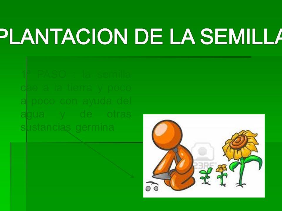 1ª PASO : la semilla cae a la tierra y poco a poco con ayuda del agua y de otras sustancias germina