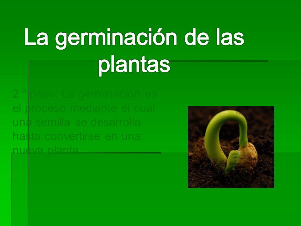 2 º paso: La germinación es el proceso mediante el cual una semilla se desarrolla hasta convertirse en una nueva planta.