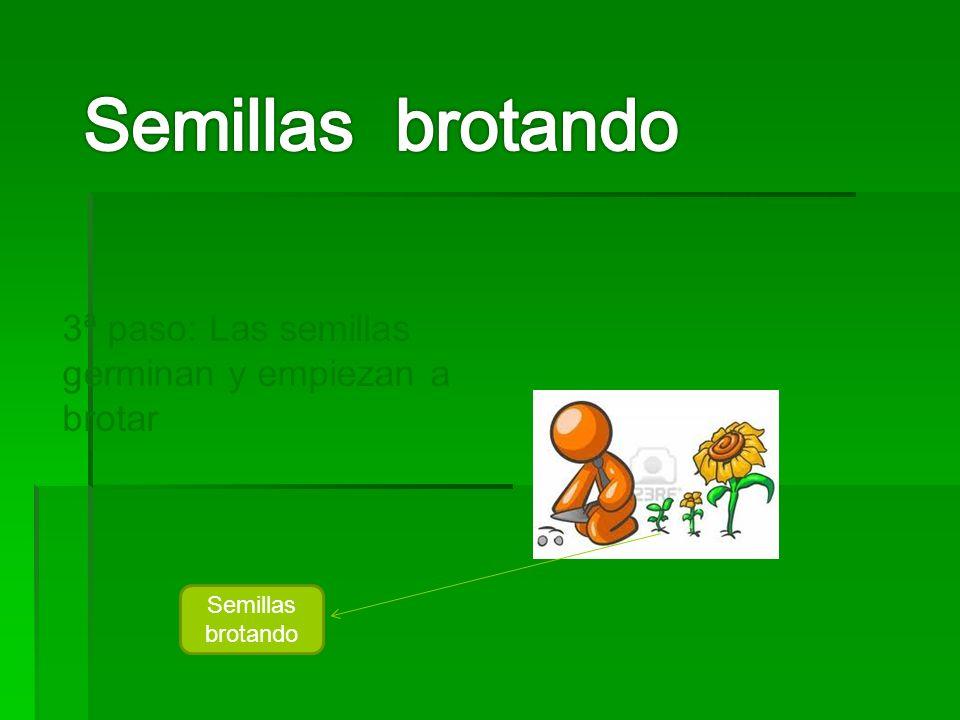 3ª paso: Las semillas germinan y empiezan a brotar Semillas brotando