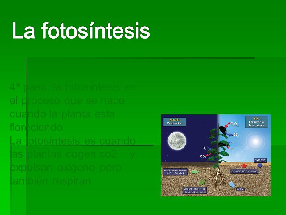 4ª paso: la fotosíntesis es el proceso que se hace cuando la planta esta floreciendo La fotosíntesis es cuando las plantas cogen co2 y expulsan oxigeno pero también respiran