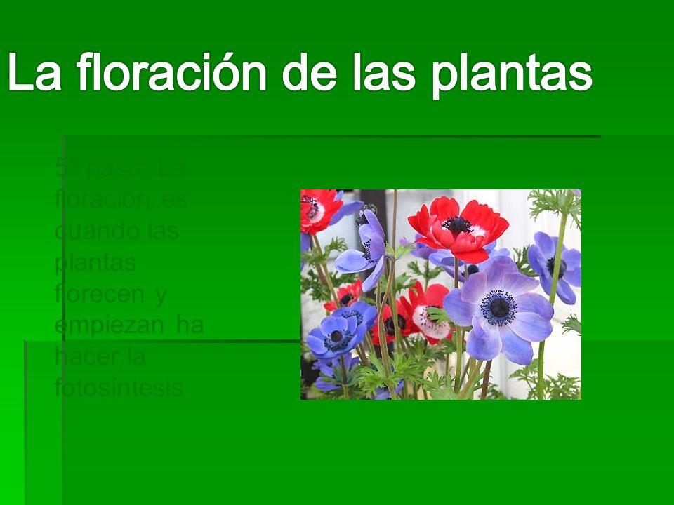5ª paso: La floración es cuando las plantas florecen y empiezan ha hacer la fotosíntesis