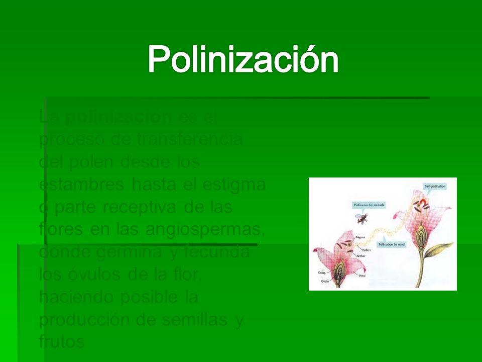 La polinización es el proceso de transferencia del polen desde los estambres hasta el estigma o parte receptiva de las flores en las angiospermas, donde germina y fecunda los óvulos de la flor, haciendo posible la producción de semillas y frutos