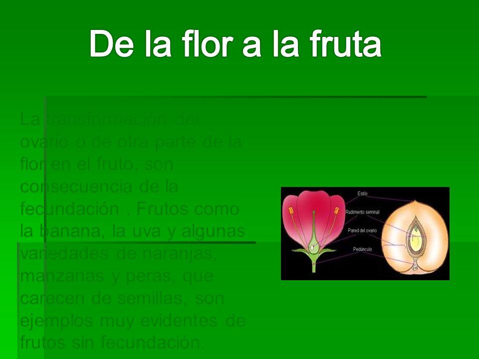 La transformación del ovario o de otra parte de la flor en el fruto, son consecuencia de la fecundación. Frutos como la banana, la uva y algunas varie