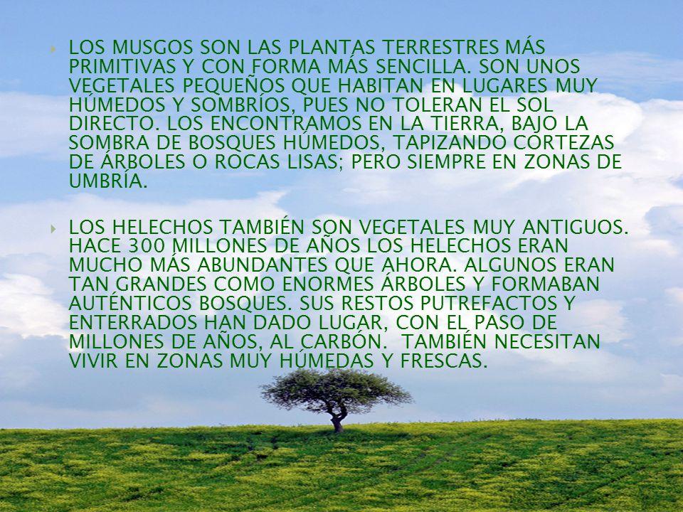 PLANTAS SIN FLORES: MUCHAS PLANTAS NO PRODUCEN FLORES EN NINGÚN MOMENTO DE SU VIDA.
