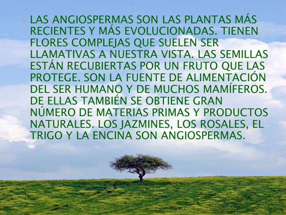 LAS PLANTAS CON FLORES SE DIVIDEN EN DOS GRANDES GRUPOS: LAS GIMNOSPERMAS NO TIENEN FRUTOS PARA PROTEGER LA SEMILLA.
