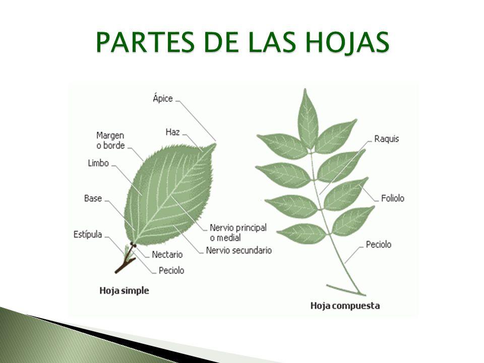 RAICES HOJAS ÁRBOL TRONCO