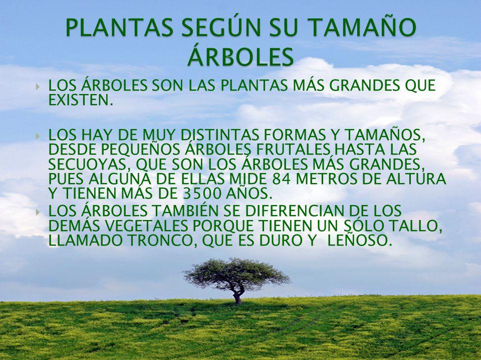 LOS PRINCIPALES GRUPOS DE PLANTAS SON: SEGÚN SU TAMAÑO: ÁRBOLES, ARBUSTOS Y PLANTAS HERBÁCEAS.