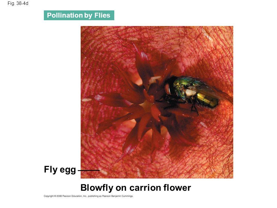 Fig. 38-4e Hummingbird drinking nectar of poro flower Pollination by Birds