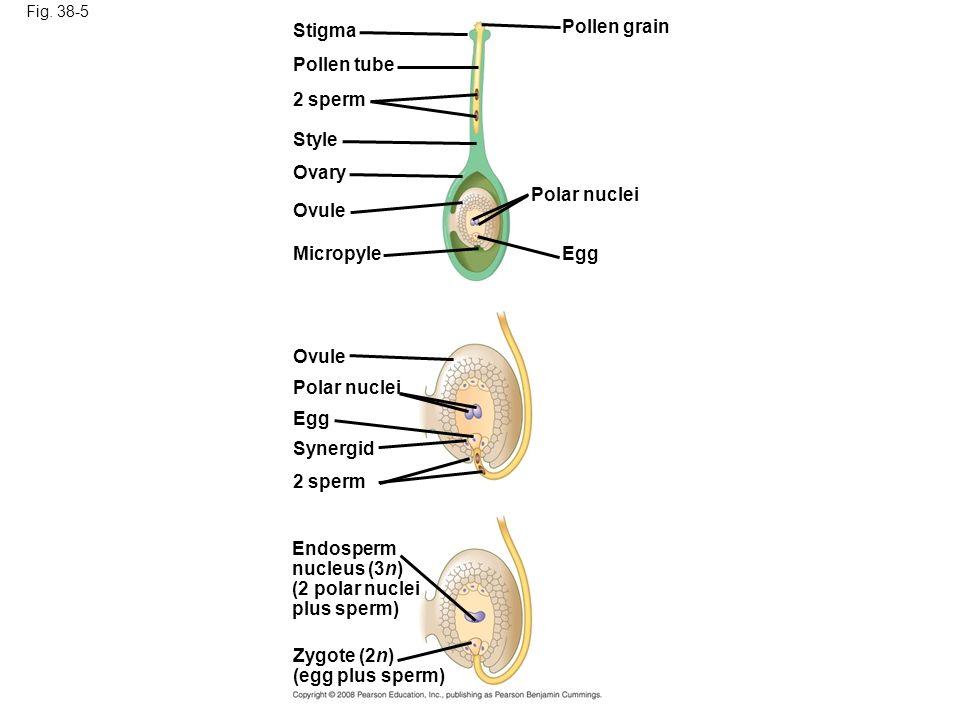 Fig. 38-5 Stigma Pollen tube 2 sperm Style Ovary Ovule Micropyle Ovule Polar nuclei Egg Synergid 2 sperm Endosperm nucleus (3n) (2 polar nuclei plus s