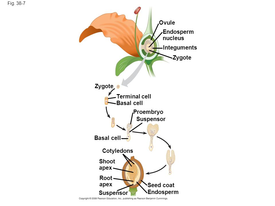 Fig. 38-7 Ovule Endosperm nucleus Integuments Zygote Terminal cell Basal cell Proembryo Suspensor Cotyledons Shoot apex Root apex Seed coat Endosperm