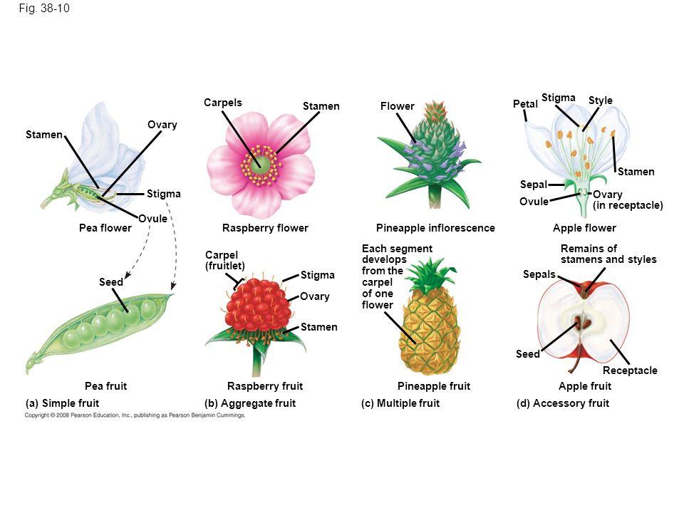 Mecanismos de dispersión de frutos incluyen: – Agua – Aire – Animales Copyright © 2008 Pearson Education, Inc., publishing as Pearson Benjamin Cummings