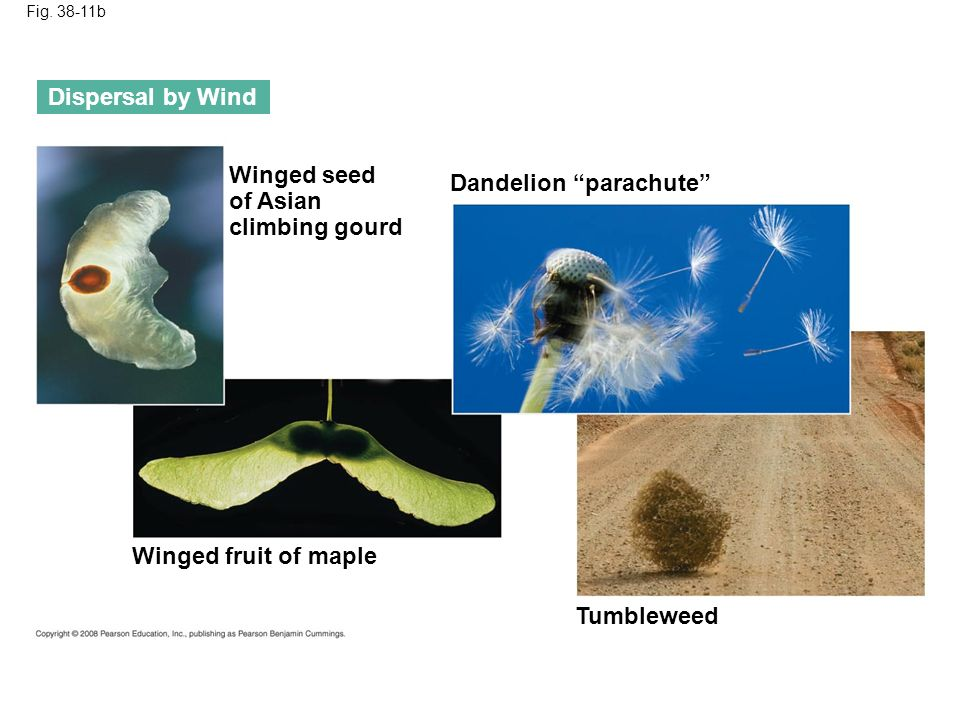 Fig. 38-11b Tumbleweed Dispersal by Wind Winged fruit of maple Dandelion parachute Winged seed of Asian climbing gourd
