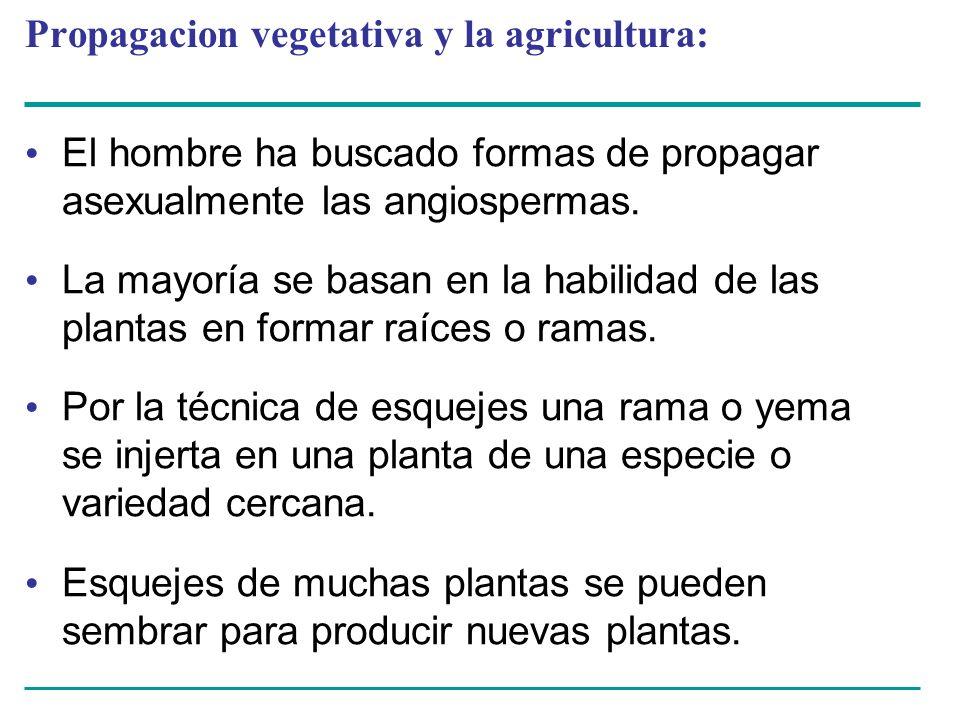 Propagacion vegetativa y la agricultura: El hombre ha buscado formas de propagar asexualmente las angiospermas. La mayoría se basan en la habilidad de
