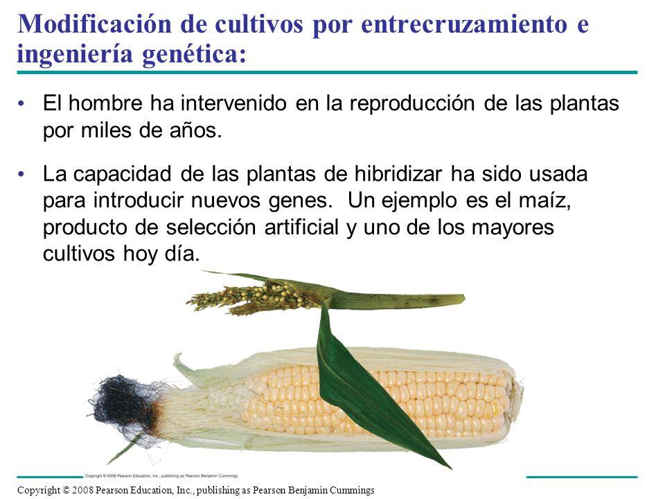 Modificación de cultivos por entrecruzamiento e ingeniería genética: El hombre ha intervenido en la reproducción de las plantas por miles de años. La