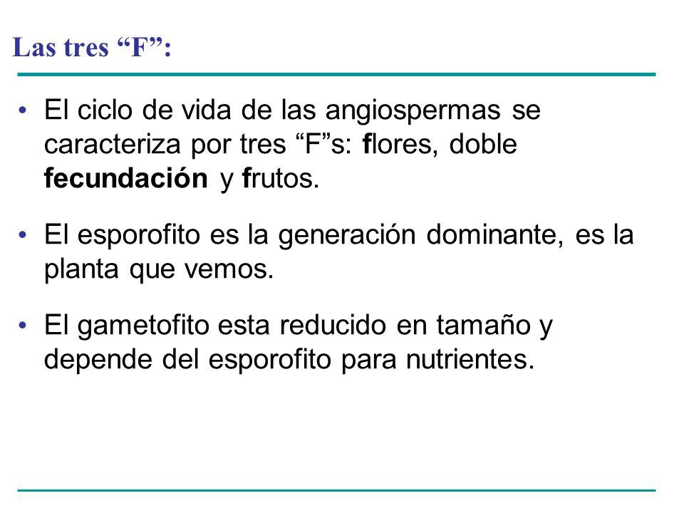 Las tres F: El ciclo de vida de las angiospermas se caracteriza por tres Fs: flores, doble fecundación y frutos. El esporofito es la generación domina