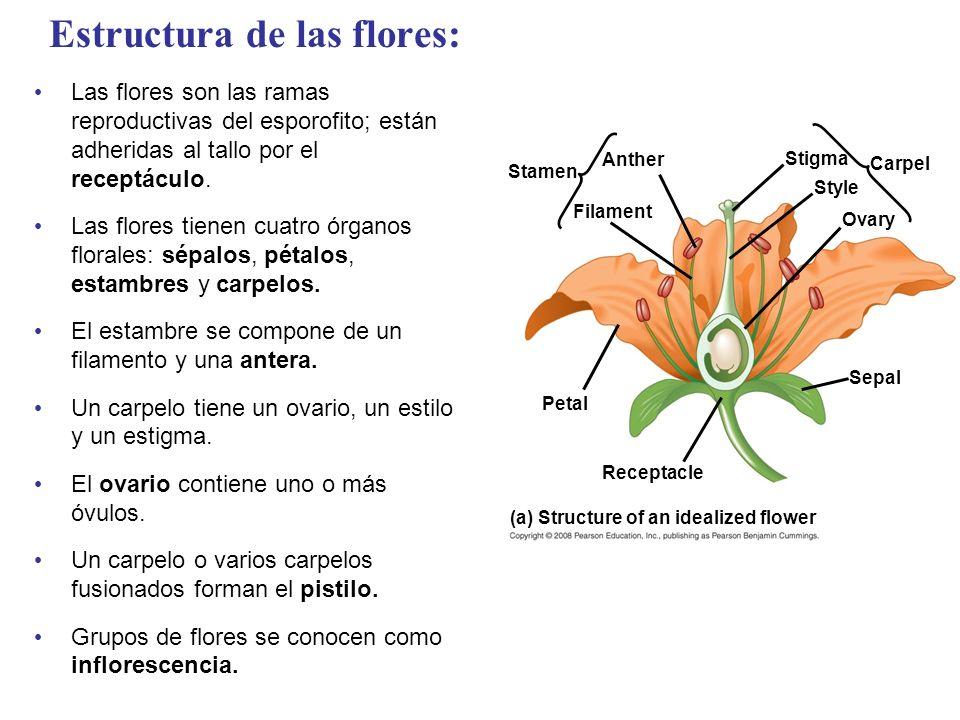 Estructura de las flores: Las flores son las ramas reproductivas del esporofito; están adheridas al tallo por el receptáculo. Las flores tienen cuatro