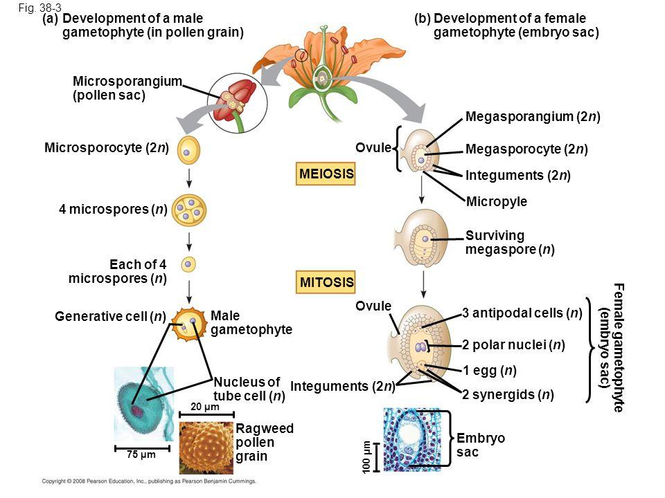 Fig. 38-3 (a) Development of a male gametophyte (in pollen grain) Microsporangium (pollen sac) Microsporocyte (2n) 4 microspores (n) Each of 4 microsp
