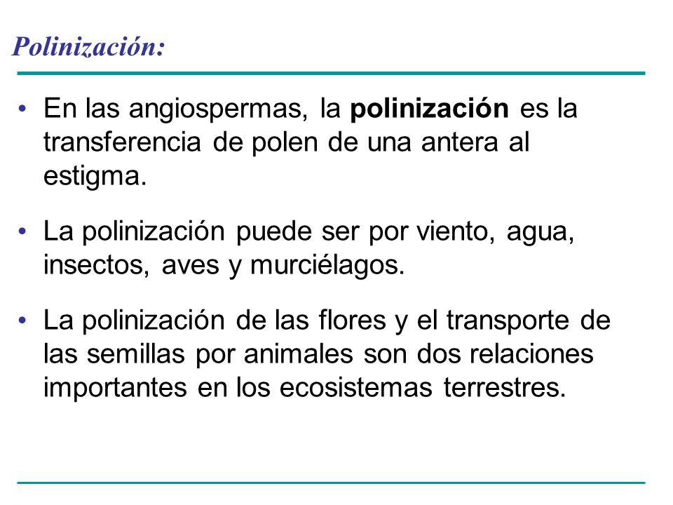 Polinización: En las angiospermas, la polinización es la transferencia de polen de una antera al estigma. La polinización puede ser por viento, agua,