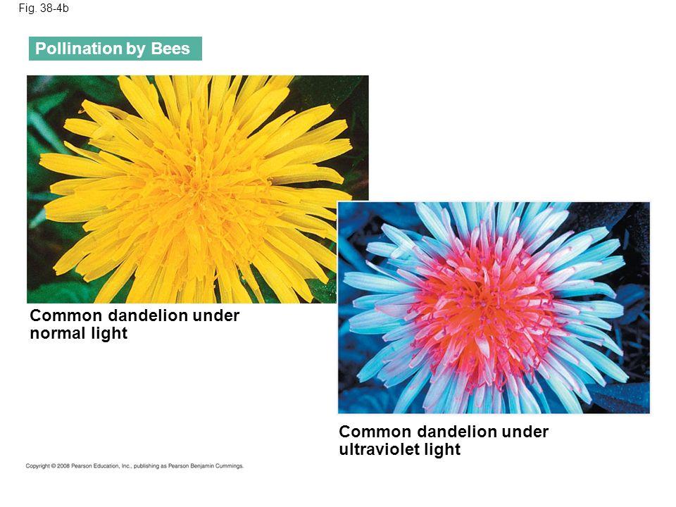 Fig. 38-4b Pollination by Bees Common dandelion under normal light Common dandelion under ultraviolet light