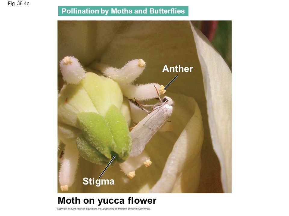 Fig. 38-4c Pollination by Moths and Butterflies Moth on yucca flower Anther Stigma