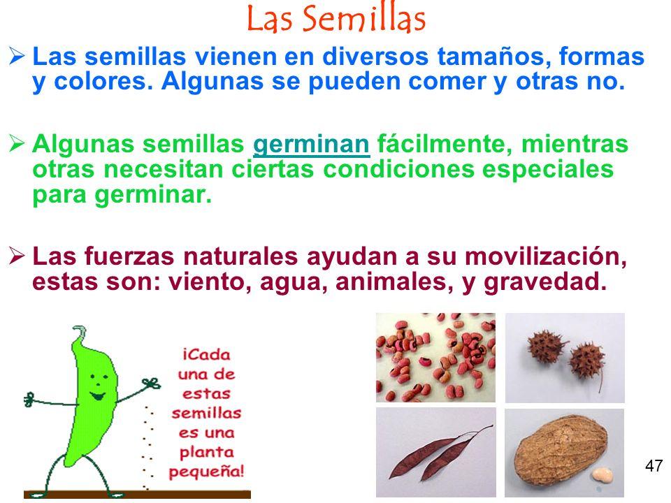 Las Semillas Las semillas vienen en diversos tamaños, formas y colores. Algunas se pueden comer y otras no. Algunas semillas germinan fácilmente, mien