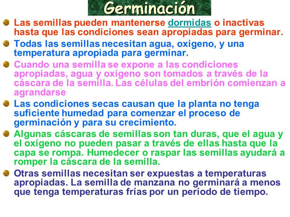 Germinación Las semillas pueden mantenerse dormidas o inactivas hasta que las condiciones sean apropiadas para germinar.dormidas Todas las semillas ne