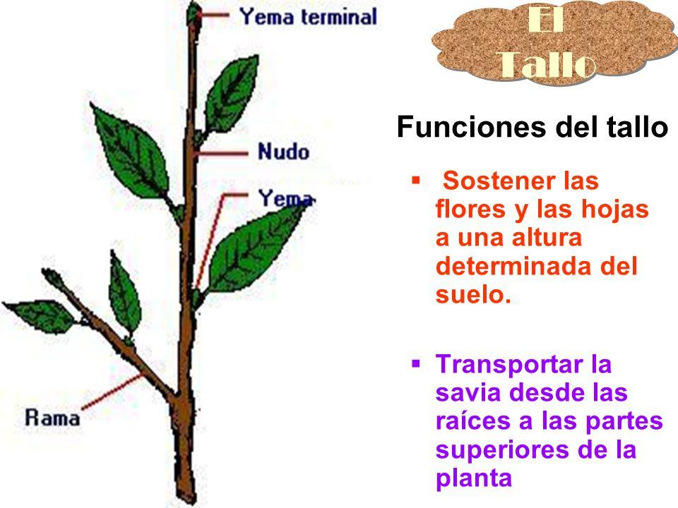 El Tallo Partes del Tallo Sostener las flores y las hojas a una altura determinada del suelo. Transportar la savia desde las raíces a las partes super