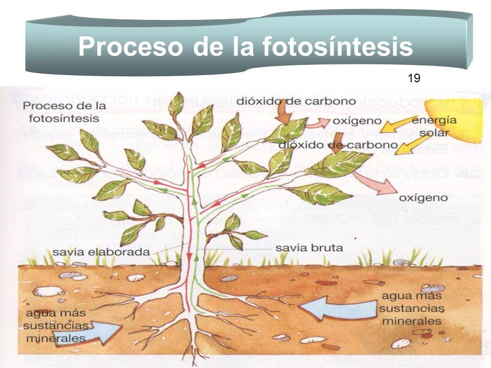Proceso de la fotosíntesis 19