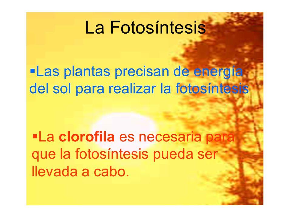 Las plantas precisan de energía del sol para realizar la fotosíntesis La clorofila es necesaria para que la fotosíntesis pueda ser llevada a cabo. La