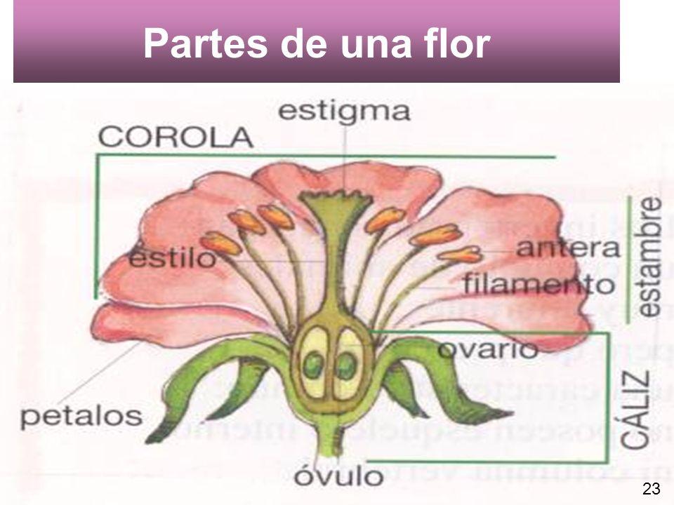 Partes de una flor 23