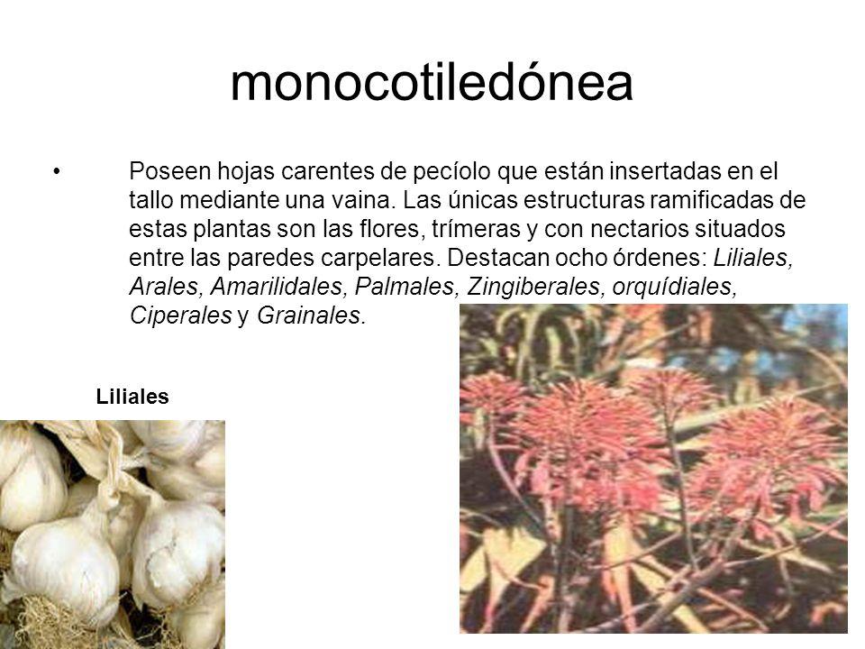monocotiledónea Poseen hojas carentes de pecíolo que están insertadas en el tallo mediante una vaina. Las únicas estructuras ramificadas de estas plan