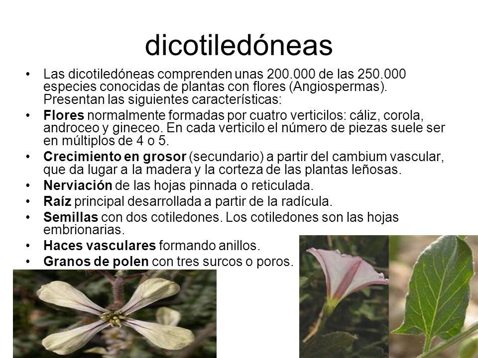 dicotiledóneas Las dicotiledóneas comprenden unas 200.000 de las 250.000 especies conocidas de plantas con flores (Angiospermas). Presentan las siguie
