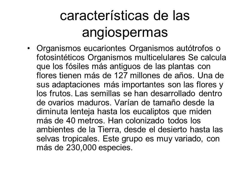 características de las angiospermas Organismos eucariontes Organismos autótrofos o fotosintéticos Organismos multicelulares Se calcula que los fósiles