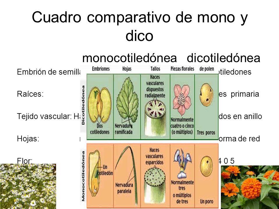 Cuadro comparativo de mono y dico monocotiledónea dicotiledónea Embrión de semilla : un cotiledón dos cotiledones Raíces: sistema fibrosa sistema raíc