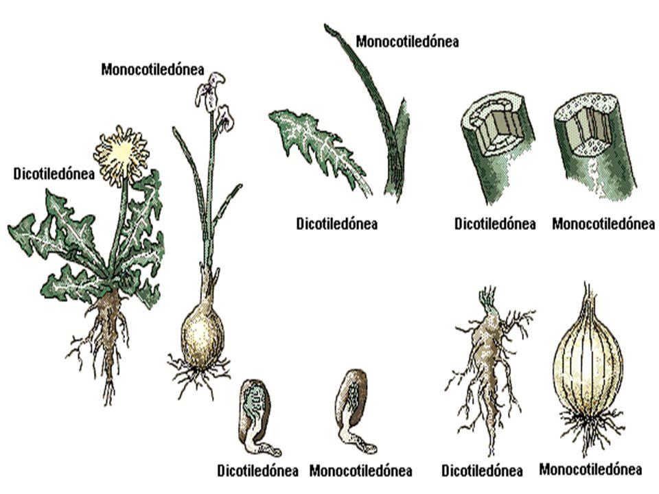 Dicotiledóneas y monocotiledóneas