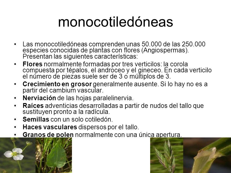 monocotiledóneas Las monocotiledóneas comprenden unas 50.000 de las 250.000 especies conocidas de plantas con flores (Angiospermas). Presentan las sig