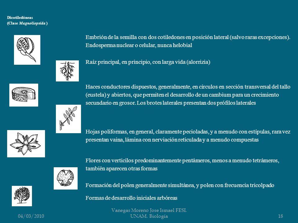 04/03/2010 Vanegas Moreno Jose Ismael FESI. UNAM. Biología18 Dicotiledóneas (Clase Magnoliopsida ) Embrión de la semilla con dos cotiledones en posici