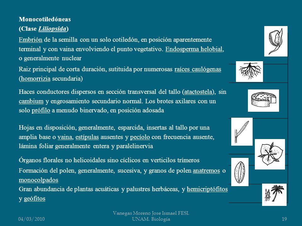 04/03/2010 Vanegas Moreno Jose Ismael FESI. UNAM. Biología19 Monocotiledóneas (Clase Liliopsida) Embrión de la semilla con un solo cotiledón, en posic
